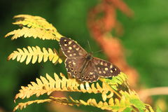 Speckled wood butterfly.Pararge aegeria. A view of a speckled wood butterfly on a fern leaf.It is good condition and has its wings open Royalty Free Stock Photo