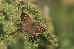 A speckled wood butterfly.Pararge aegeria. A view of a butterfly on a flower head.It is good condition and has its wings open Royalty Free Stock Images