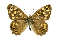 Speckled Wood butterfly. Speckled Wood (Pararge aegeria) butterfly Stock Photo
