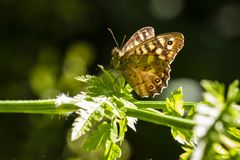 Speckled wood butterfly Pararge aegeria Royalty Free Stock Photo