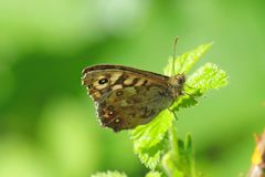 Speckled wood butterfly pararge aegeria on a green leaf Stock Photography