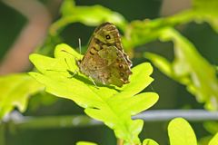 Speckled wood butterfly pararge aegeria on a green leaf Stock Images