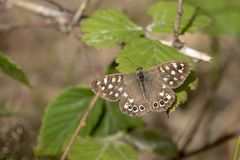 Speckled wood butterfly, Pararge aegeria, perched on a fern and birch leaf in woodland, august, scotland. Speckled wood butterfly, Pararge aegeria, perched on a stock photos