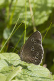 Speckled wood butterfly Stock Photos