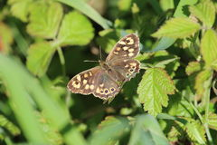 Speckled Wood Butterfly (Pararge aegeria). This picture shows a speckled wood butterfly resting on a leaf with it's wings open. The background is of green leaves Royalty Free Stock Images