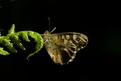Speckled wood butterfly, Pararge eageria Stock Photo