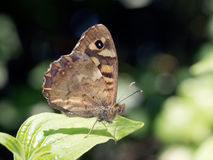 Speckled wood butterfly at rest. Pararge aegeria. Stock Photos