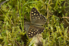 Speckled Wood Butterfly. Resting on a mossy forest floor in Surrey hills, England Royalty Free Stock Photos
