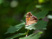 Speckled wood butterfly Royalty Free Stock Images