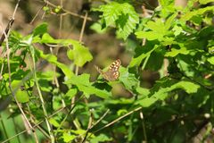 Speckled wood butterfly pararge aegeria sitting on a leaf in a bush Stock Photos