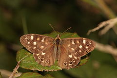 Speckled wood butterfly. Royalty Free Stock Images