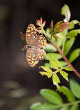 Speckled Wood butterlfy Stock Photography