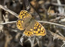 Speckled wood, Pararge aegeria Stock Photography