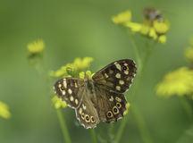 Speckled Wood Stock Photo