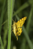 Speckled Yellow moth / Pseudopanthera macularia Stock Photos