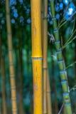 Spectabilis aureosulcata Phyllostachys бамбуковые Стоковая Фотография