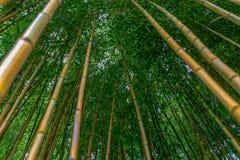 Spectabilis aureosulcata Phyllostachys бамбуковые Стоковые Изображения