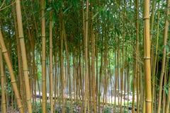 Spectabilis aureosulcata Phyllostachys бамбуковые Стоковые Изображения RF