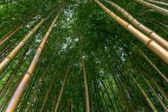Spectabilis aureosulcata Phyllostachys бамбуковые Стоковое фото RF