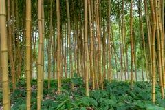 Spectabilis aureosulcata Phyllostachys бамбуковые Стоковое Изображение RF