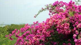 spectabilis cor-de-rosa vermelhos do Bougainvillea Imagem de Stock Royalty Free