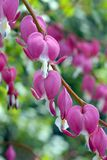 Spectabilis do Dicentra Foto de Stock Royalty Free