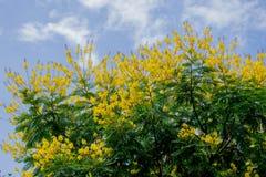Spectabilis do sene com flores foto de stock