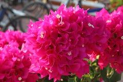 Spectabilis rosa luminosi Willd della buganvillea del fiore Fotografie Stock Libere da Diritti