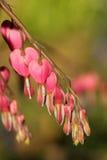 Spectabilis roses de Lamprocapnos - défenseur de la veuve et de l'orphelin rose Photos stock