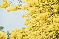 Spectabilis Tabebuia Стоковые Изображения RF