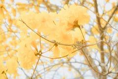 Spectabilis Tabebuia Стоковое Фото