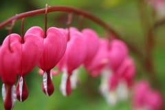 Spectabilis todos del rosa y blancos del coraz?n sangrante de las flores de los lamprocapnos en fila imagenes de archivo