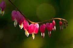 Spectabilis van Lamprocapnos Aftappend hart Aziatisch bleeding-hart stock afbeelding