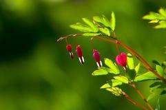 Spectabilis van Lamprocapnos Aftappend hart Aziatisch bleeding-hart stock foto's