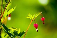 Spectabilis van Lamprocapnos Aftappend hart Aziatisch bleeding-hart royalty-vrije stock afbeeldingen
