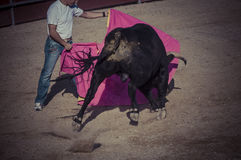 Spectacle of bullfighting, where a bull fighting a bullfighter S Stock Image