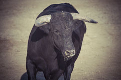 Spectacle of bullfighting, where a bull fighting a bullfighter S Royalty Free Stock Photos