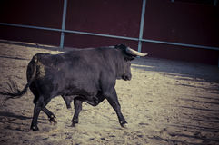Spectacle of bullfighting, where a bull fighting a bullfighter S Stock Images