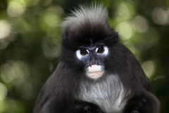 Spectacle Langur. Close-up of a spectacle Langur (Trachypithecus phayrie royalty free stock image