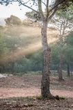 Spectacle of light and color. In a sunrise in the pine forest Royalty Free Stock Images