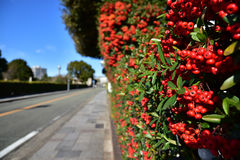 Spectacle of red fruits beside the road. Of sunny blue sky day Stock Image