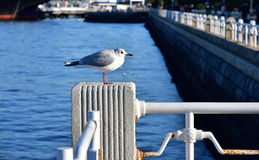 Spectacle of sea bird at the harbor Royalty Free Stock Photo