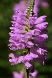 Physostegia virginiana(Virginia lion`s heart). Spectacle of summer afternoon when butterflies smoke honey in full flower bed in the park Virginia lion`s Stock Photography
