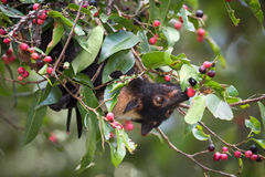 Spectacled летучая мышь Fox летания есть смоквы Стоковые Фотографии RF