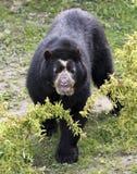 Spectacled медведь в пуще облака Стоковые Фотографии RF