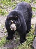 Spectacled медведь в пуще облака Стоковая Фотография RF