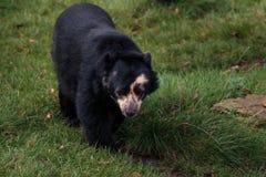 Spectacled медведь смотря камеру Стоковые Фотографии RF