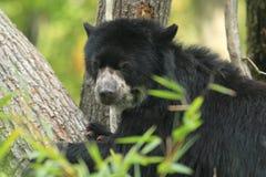 Spectacled медведь Стоковая Фотография RF