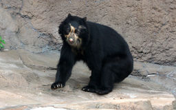 Spectacled медведь или андийский медведь эндемичный медведь к Южной Америке Стоковое Изображение RF