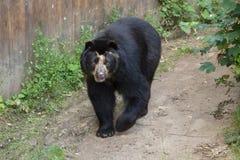 Spectacled медведь (ornatus Tremarctos) Стоковое фото RF